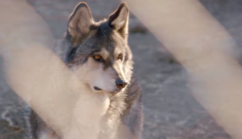 Wolf in Wolves and Warriors