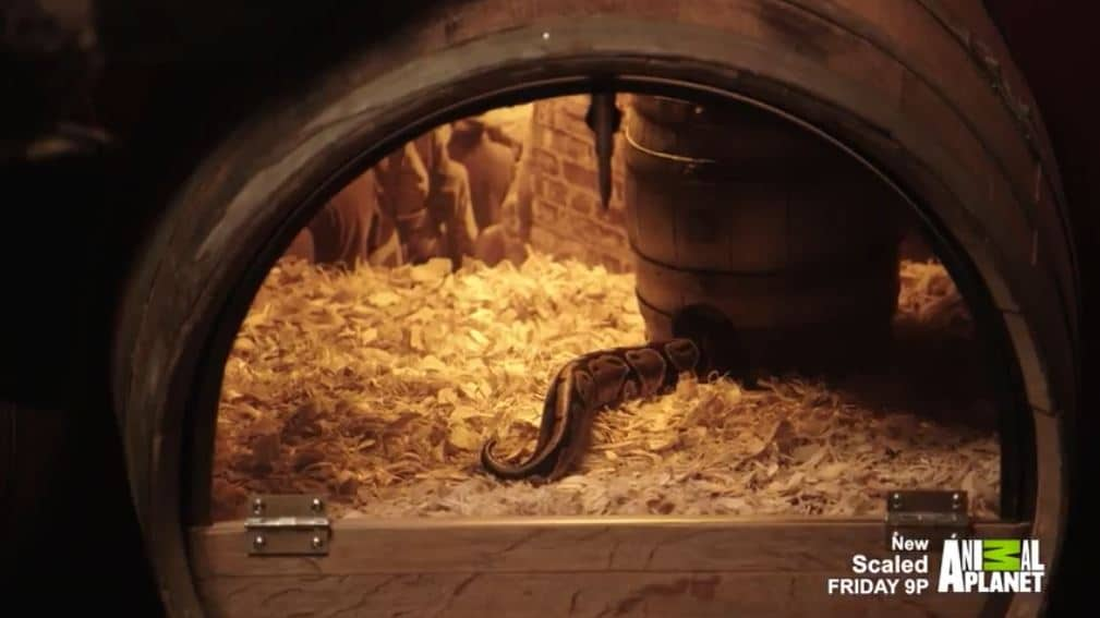 Bonnie the snake enters her whiskey barrel for a rest