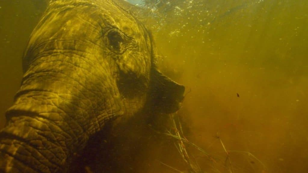 Over half the continent's African elephant population is found in the Okavango delta. Pic credit: NGC