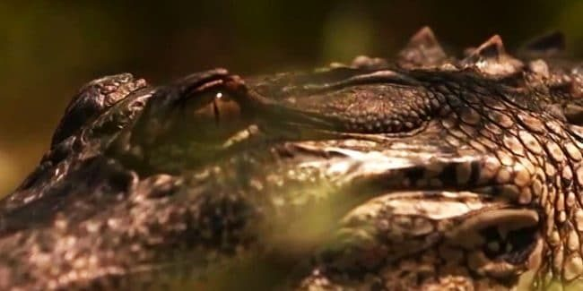 Swamp People recap: Willie's creature from the Black Lagoon, Big T, Mr. Daniel, Frenchy and Gee back too