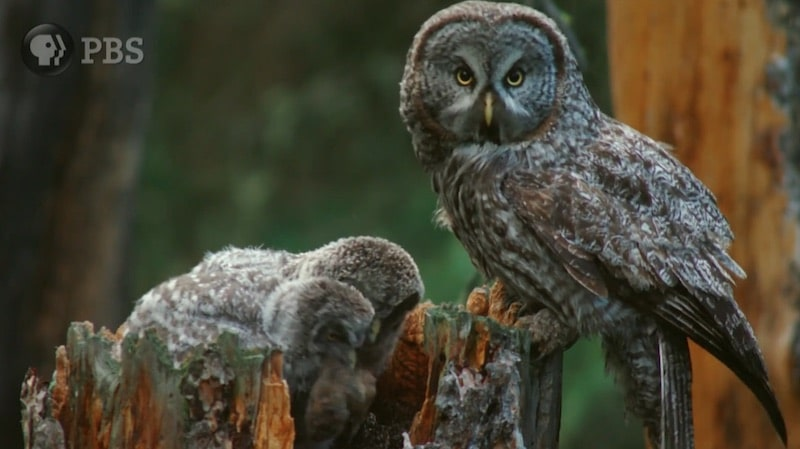 A family of owls on the Great Yellowstone Thaw
