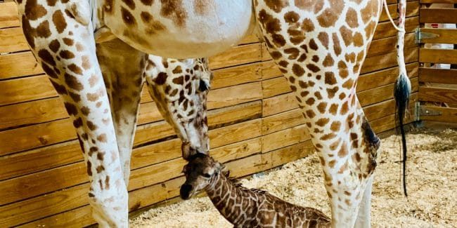 Who is April the Giraffe's baby daddy and did she have a boy or a girl?