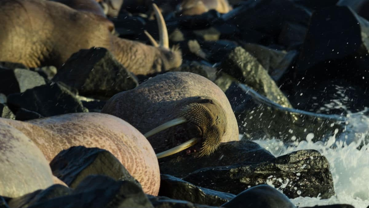 Our Planet walruses