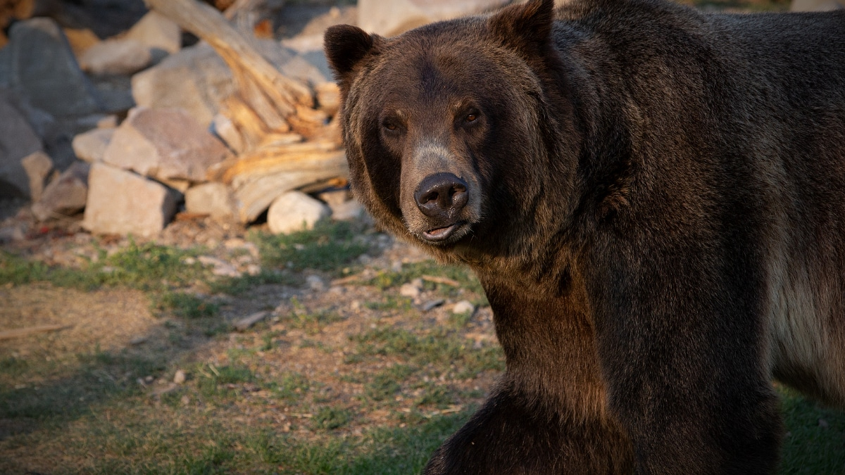 bear yellowstone natgeo - Yellowstone Live on National Geographic Channel, everything you need to know