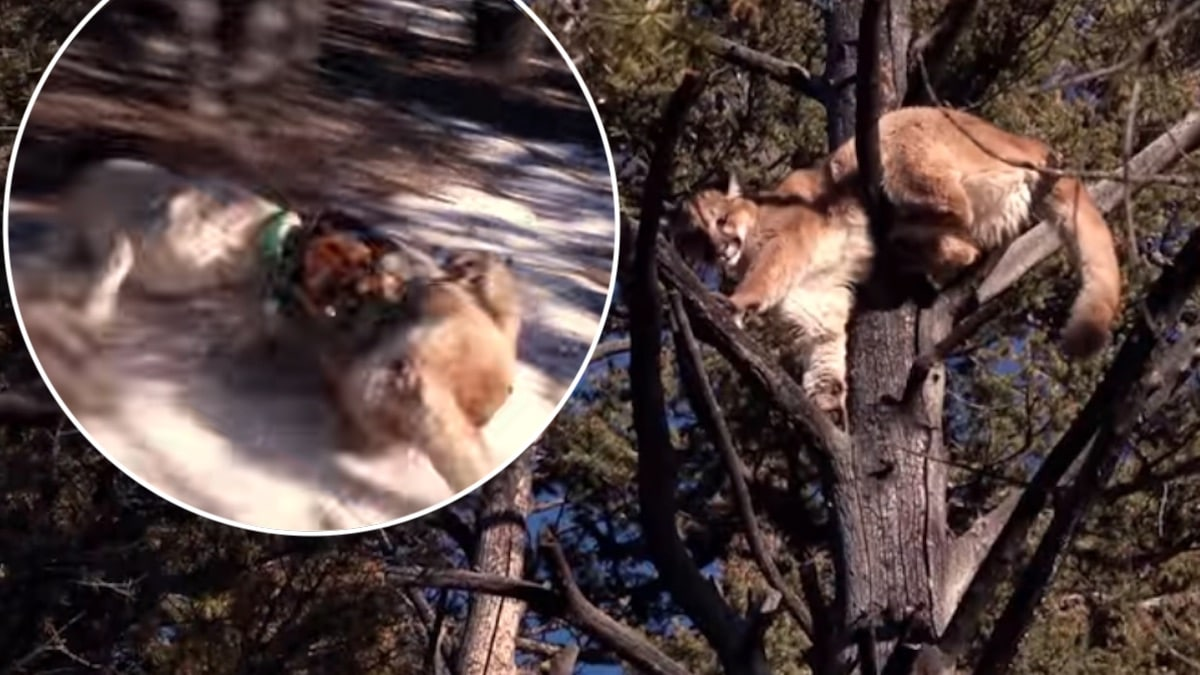 The cougar and dog fight on Mountain Men