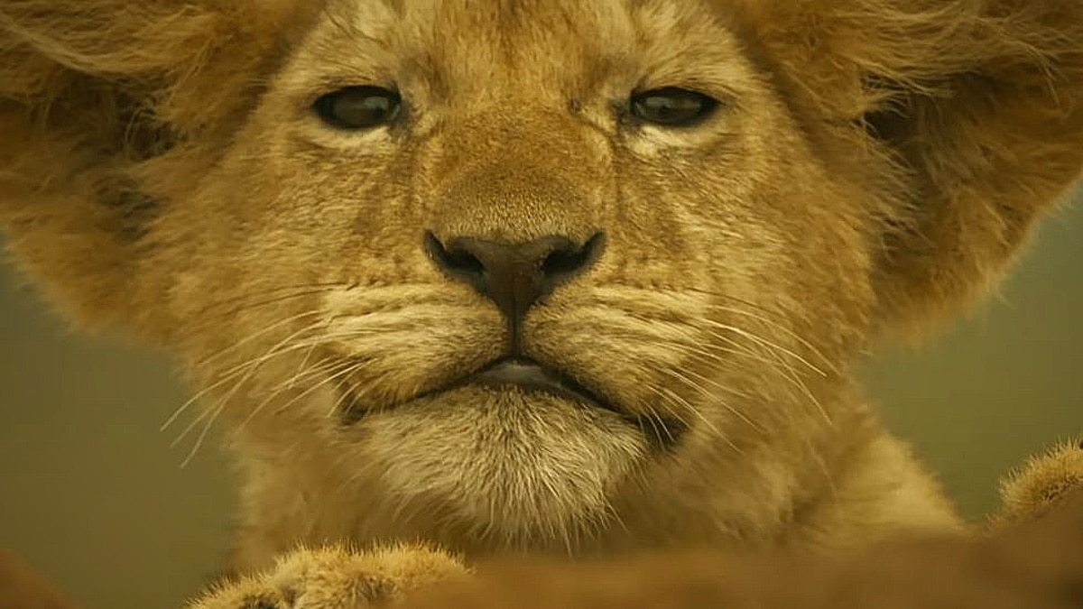 A lion from Serengeti, airing on Discovery.