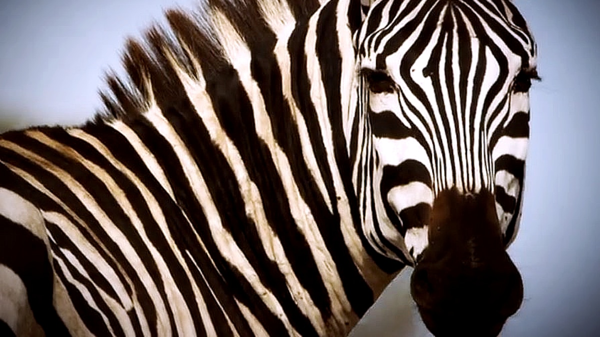 Look at the lashes on Shani the zebra! She bats and waits while her stallion has to duke it out on Serengeti