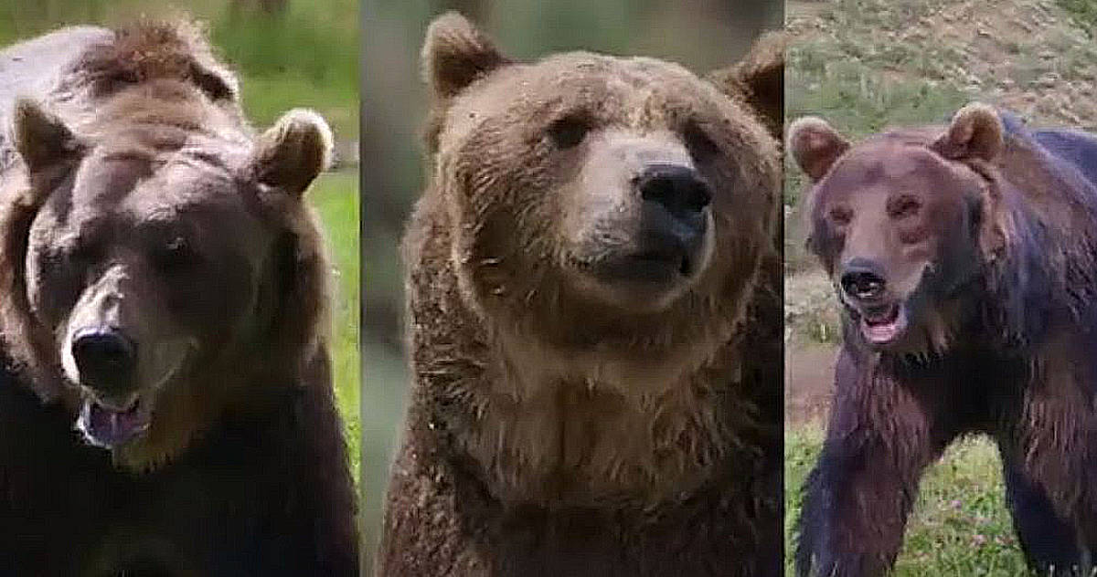 L-R: Bart, Honey Bump and her brother Tank, the three stars of Man Vs Bear. Pic credit: Discovery.