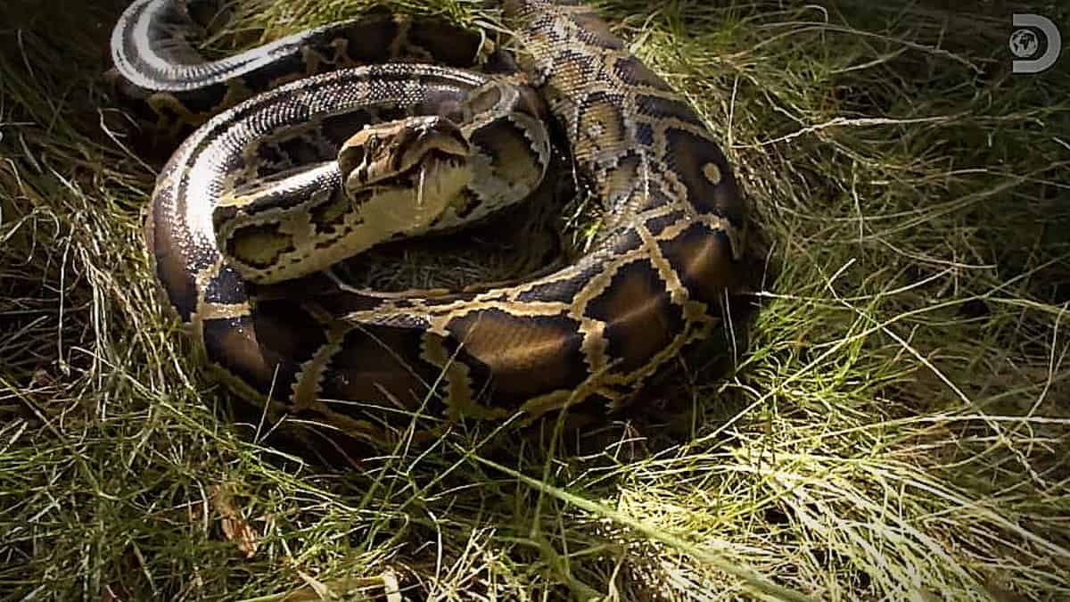 Our python friend after he bit Dusty Crum not once but twice, his days are numbered. Pic credit; Discovery.