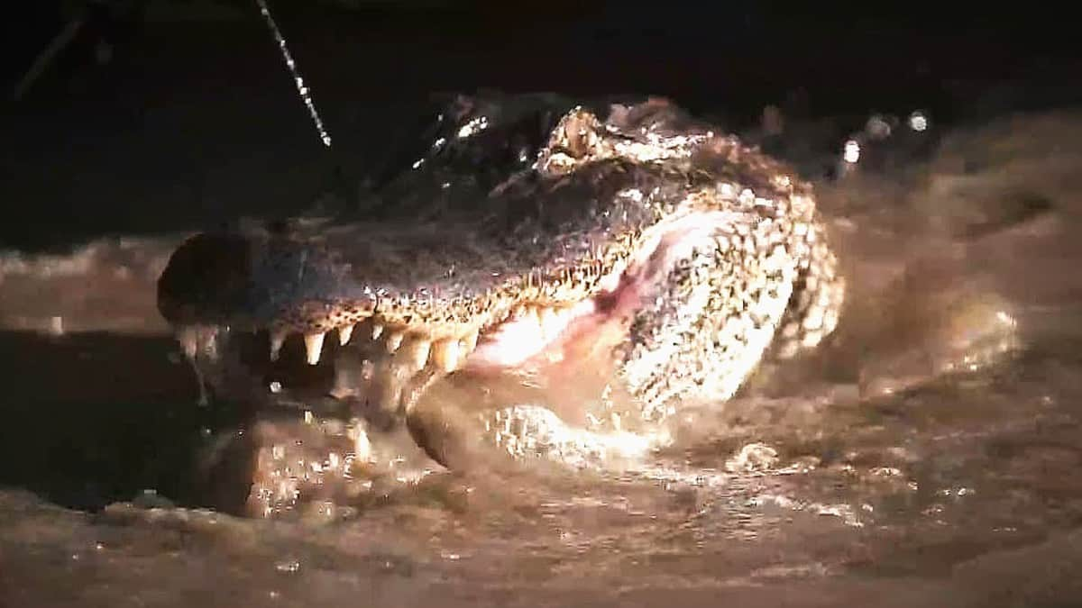 Another gator bull meets his bayou makers and takers