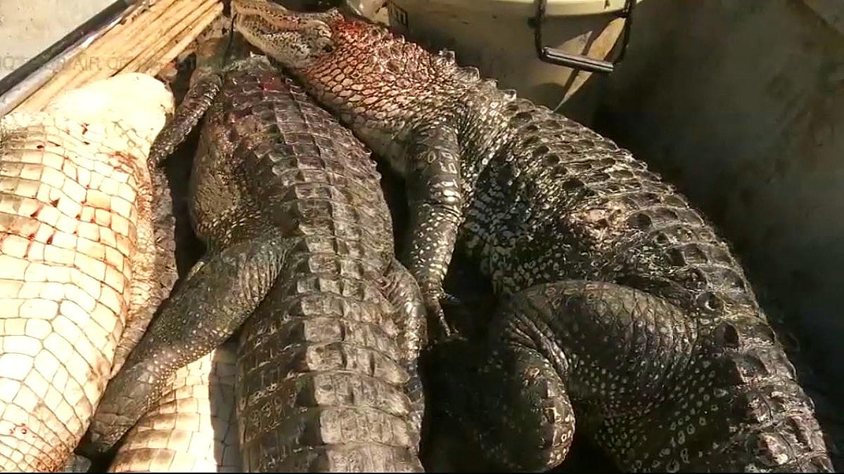 swamp people gators