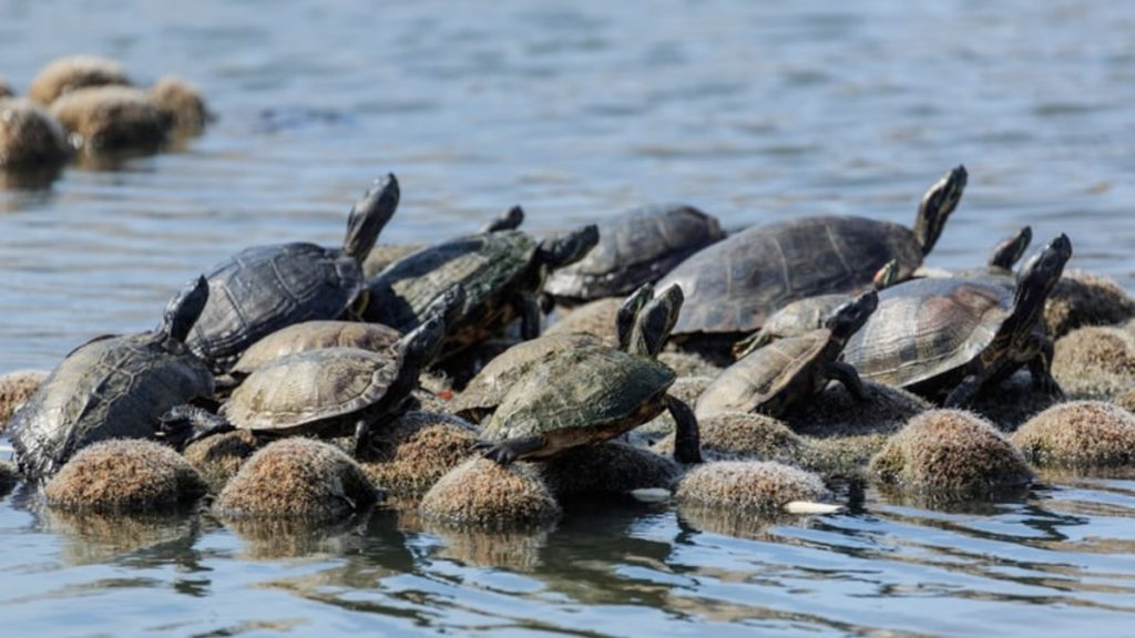 A pic of turtles in the wild
